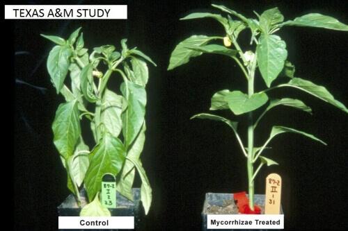 mycorrhizal fungi inoculant