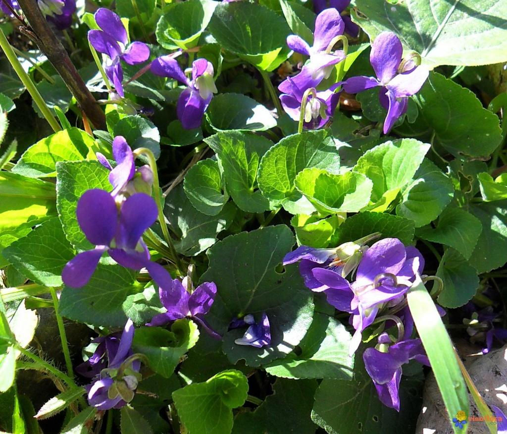 violettes-parfumees-visoflora-50249