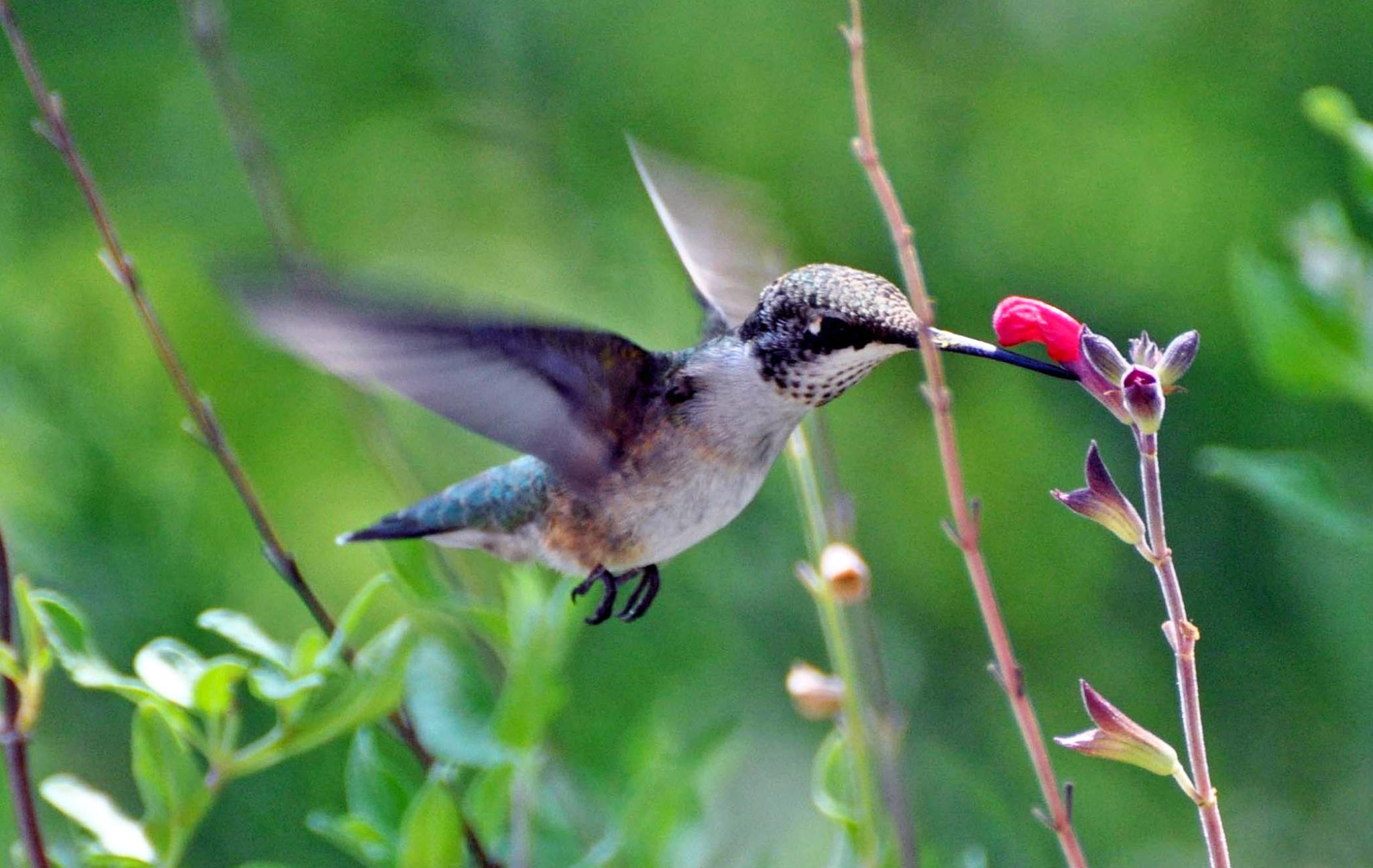Giving Hummingbirds What They Need