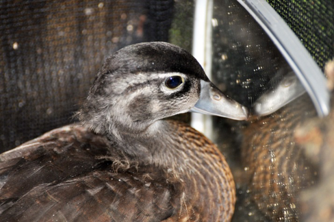 August the Wood Duck: Part 1