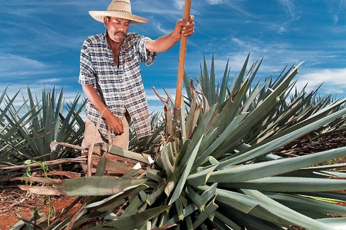 Agave Selection