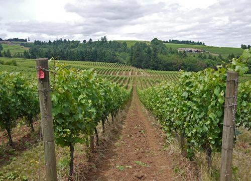 Vineyard_Willamette