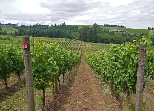 Vineyard_Willamette