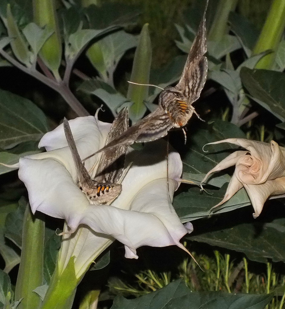 Grand Canyon Insects -Tomato hornworm Moths