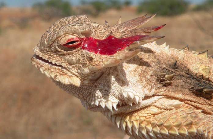 Grand Canyon Fun Facts - Blood Shooting LIzard