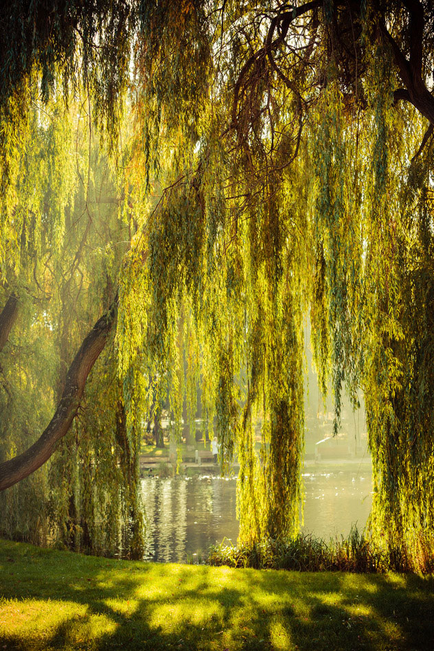 Harps On Willows Park And Pond With Willow Trees