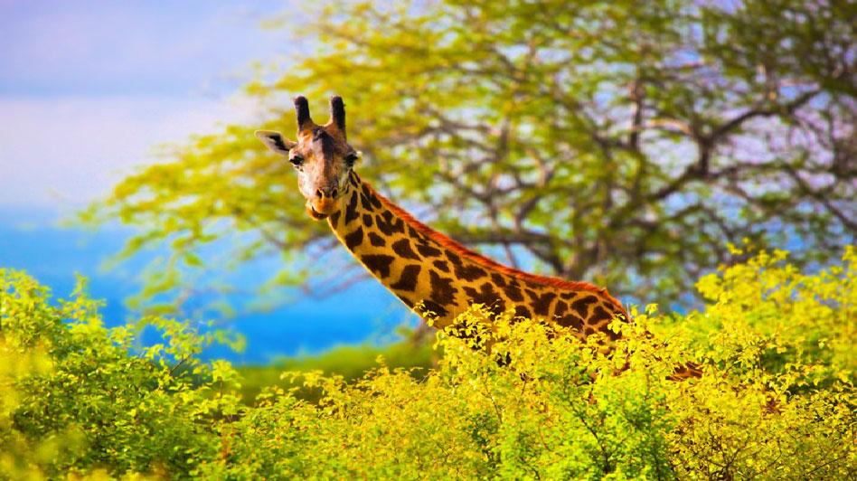 Harps On Willows Giraffe