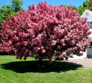 Thunderchild Crabapple