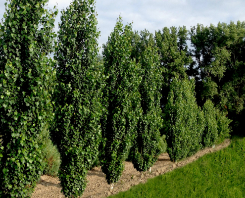 Top Columnar Trees to Plant in Alberta