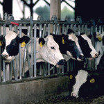 Why Eating Dairy Is Simply Heartless