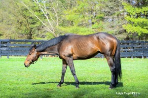 Valediction, the rescued former racehorse, grazes in his pasture.