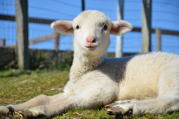 2013_02-05_FSNY_Cassie_lamb_DSC_9900_CREDIT_Farm_Sanctuary_720x477_72_RGB