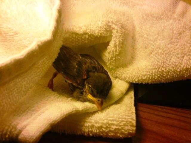 Injured young fledgling Credit PETA
