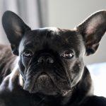 Why You Are An Asshole For Buying A French Bulldog