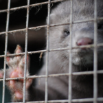 Mink Fur Production Drops To Historic All-Time Low In The Us