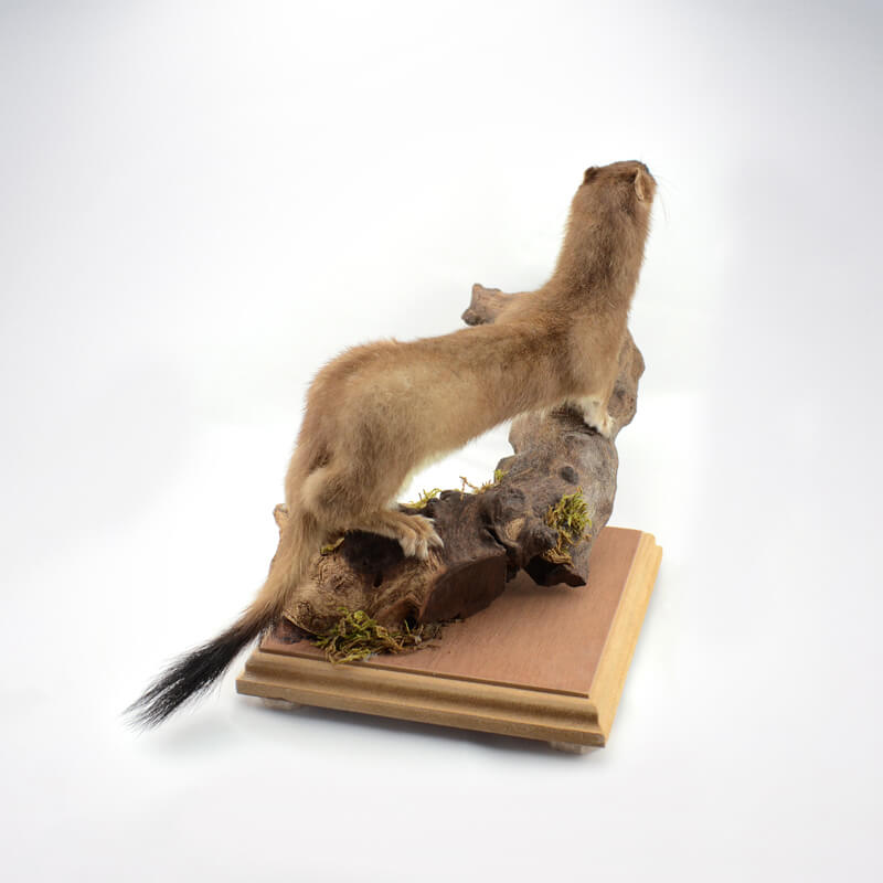 Taxidermy Stoat Commission