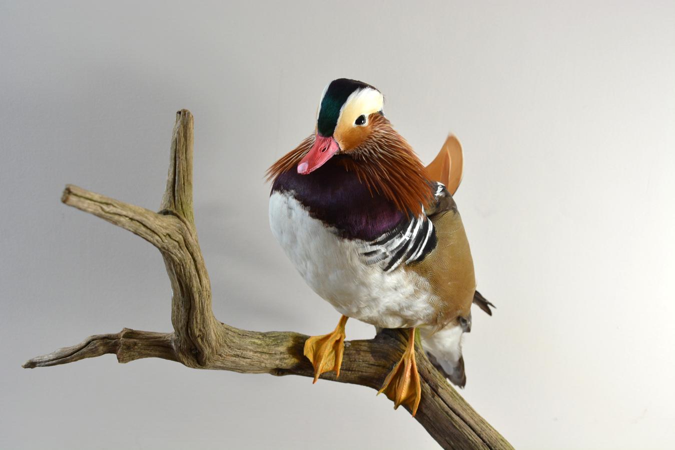 Taxidermy Mandarin Duck