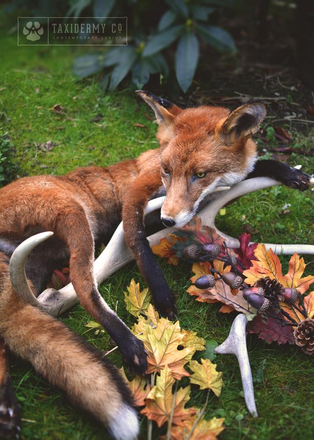Taxidermy Soft Mount Red Fox
