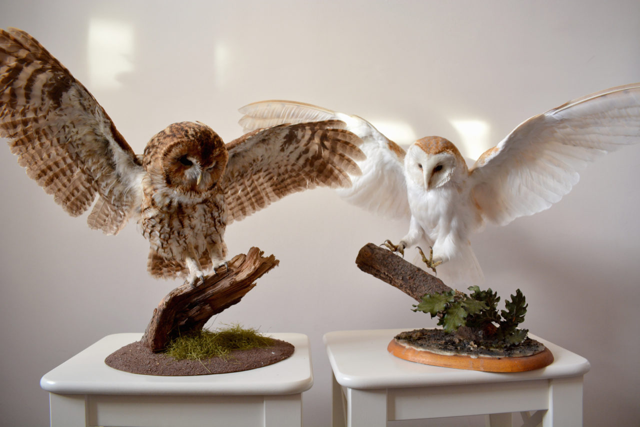 Taxidermy Owls