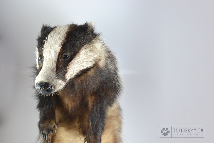 Taxidermy Eurasian Badger