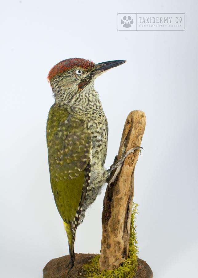 Image of taxidermy green woodpecker on wooda
