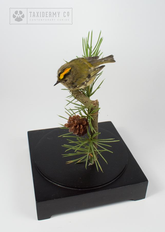 Taxidermy Goldcrest
