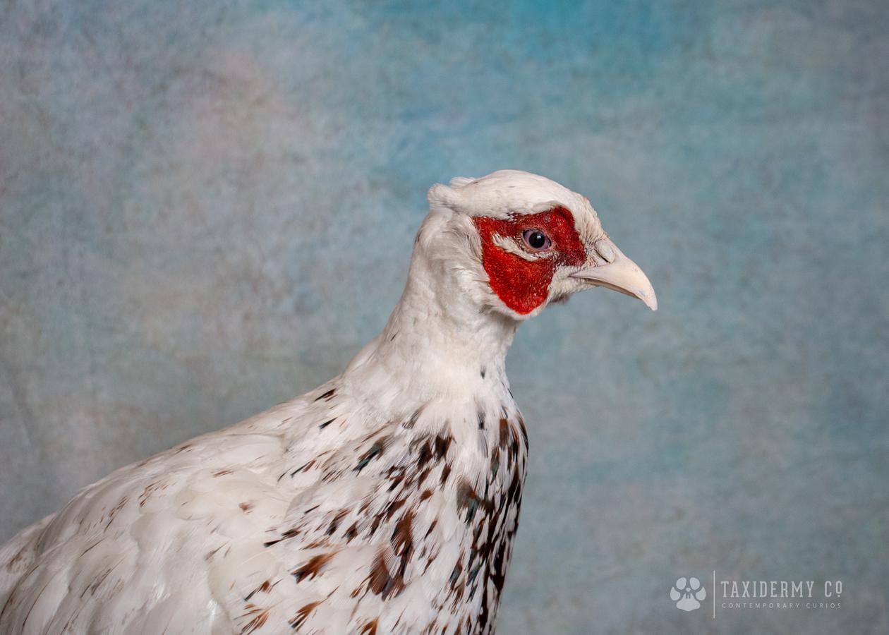 Taxidermy White Pheasant Stuffed