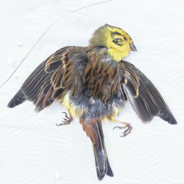 Taxidermy Bird Skin