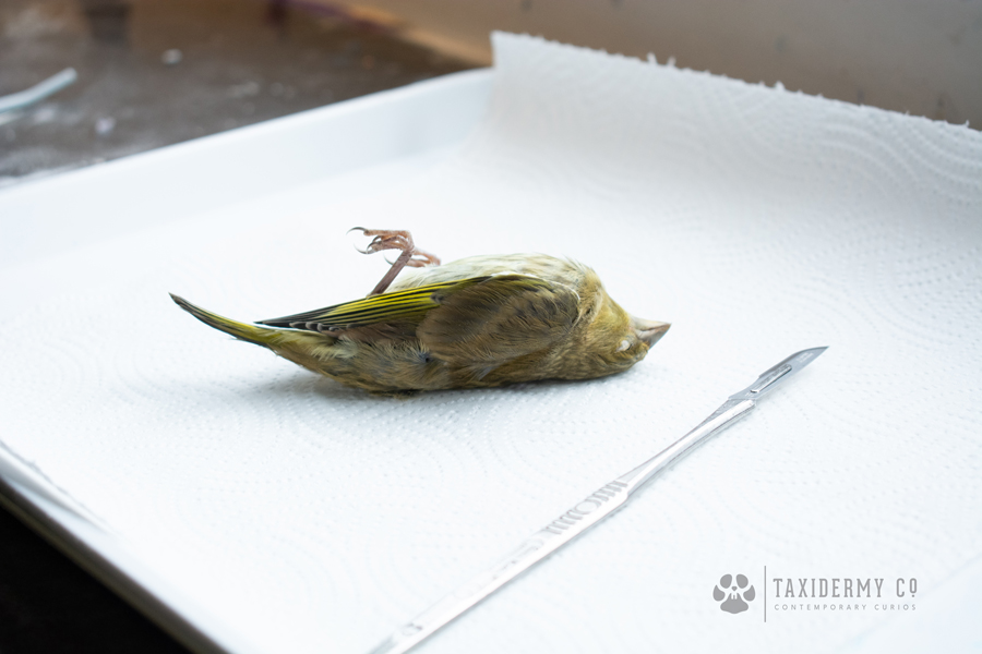 Taxidermy Dead Bird