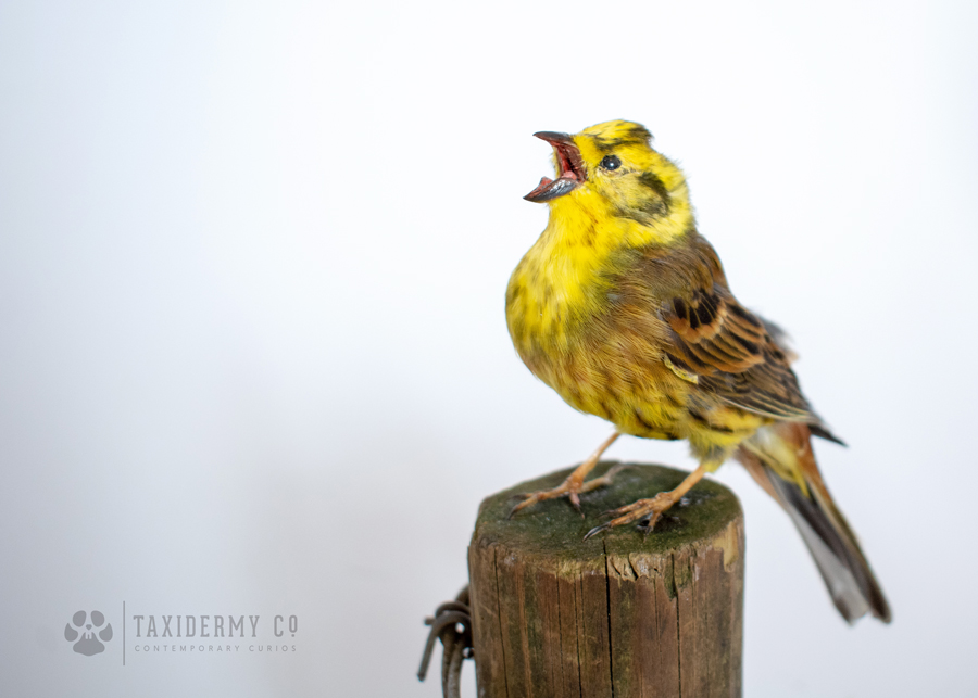 Taxidermy Yellowhammer
