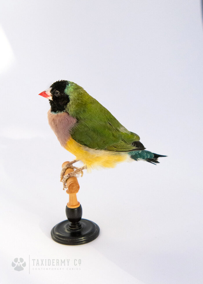 New Taxidermy Colourful Gouldian Finch (Erythrura gouldiae) For Sale