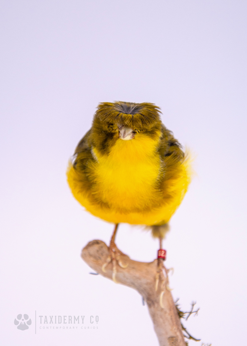Gloster Canary Taxidermy