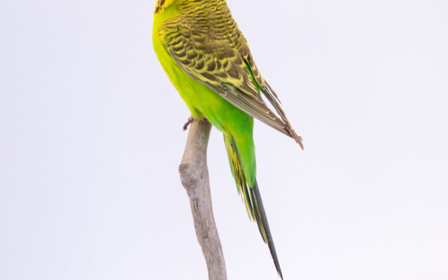 Taxidermy Yellow And Green Budgie For Sale