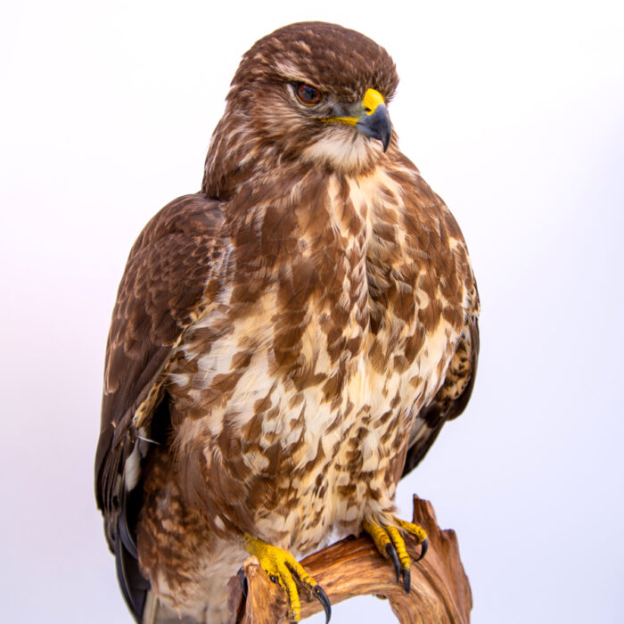 Taxidermy Buzzard For Sale