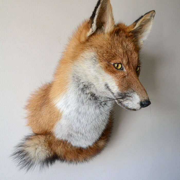 Red Fox Taxidermy (Vulpes vulpes) Wall mount