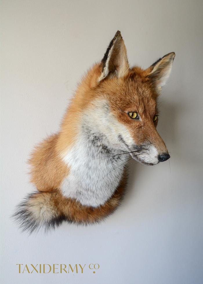 Red Fox Taxidermy (Vulpes vulpes) Wall mount