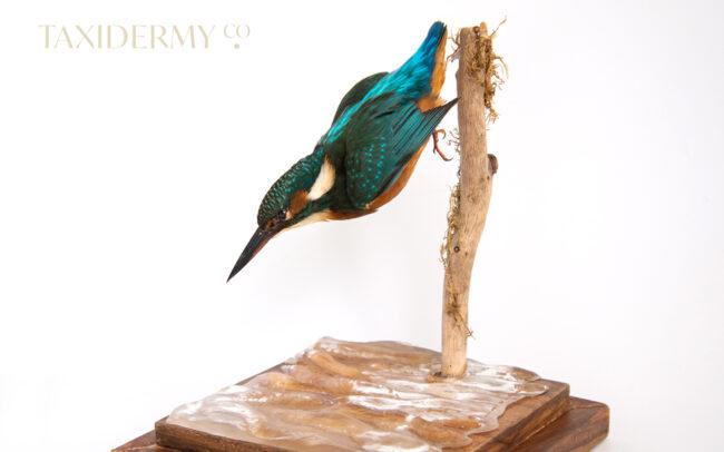 Diving taxidermy Common Kingfisher (alcedo attis) For Sale