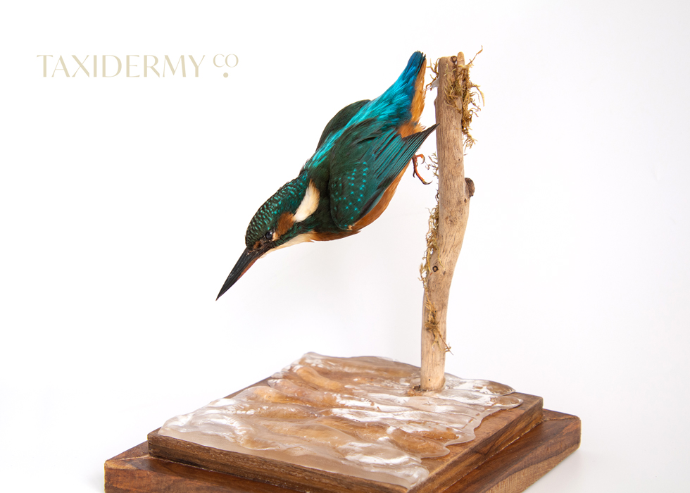 Diving taxidermy Common Kingfisher (alcedo attis) For Sale