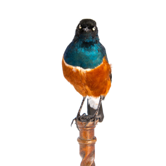 Superb Starling ((Lamprotornis superbus) Taxidermy Bird