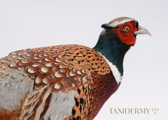 Ethical Taxidermy Ring Neck Pheasant Bird For Sale