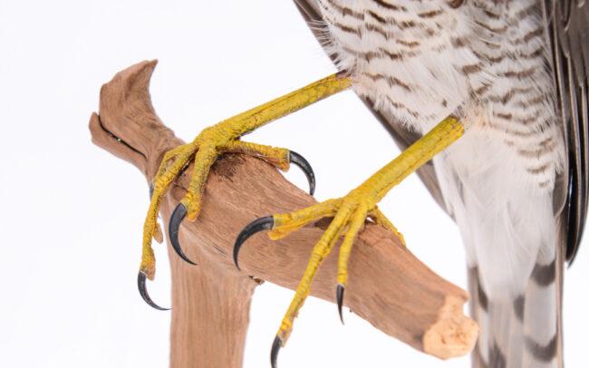 Taxidermy-Sparrowhawk-1