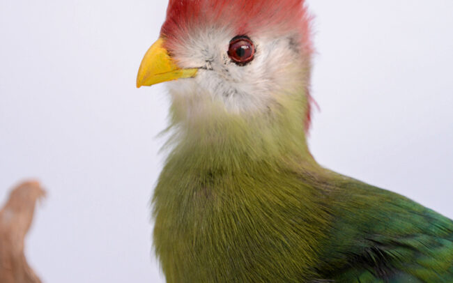 Taxidermy Red Crested Turaco For Sale