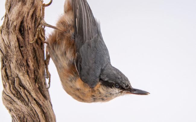 Taxidermy Nuthatch Bird