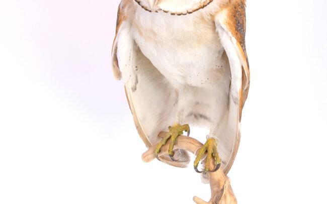 Taxidermy Barn Owl CITES 589706/01