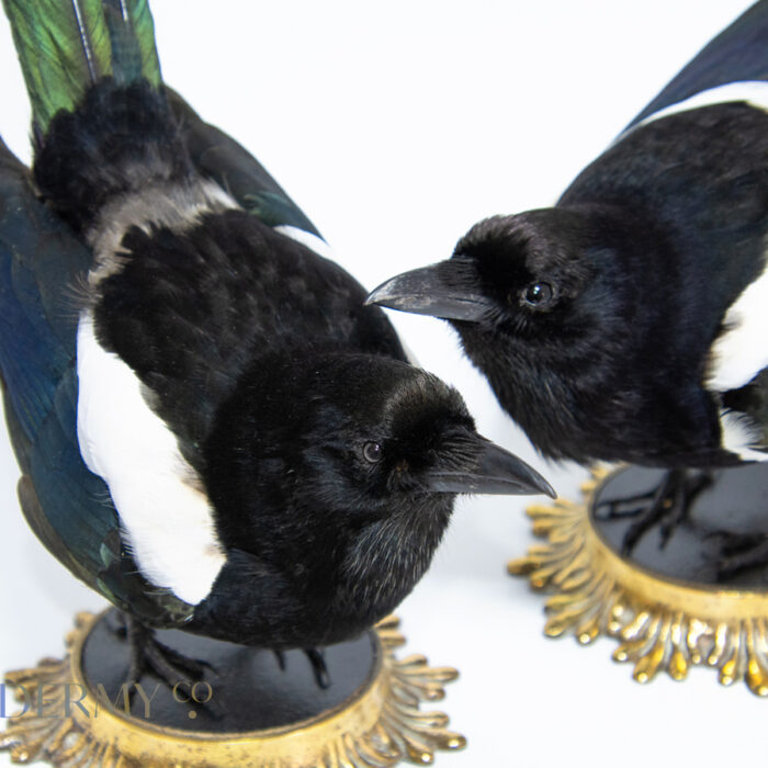 A pair of taxidermy magpies on antique brass bases for sale