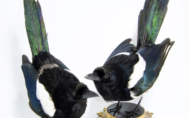 Pair-of-taxidermy-magpies
