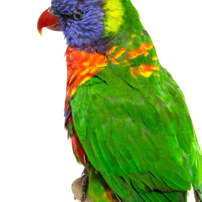 Taxidermy Rainbow Lorikeet Bird For Sale