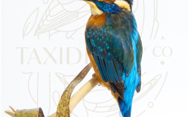 Taxidermy Kingfisher (Alcedo atthis) Bird