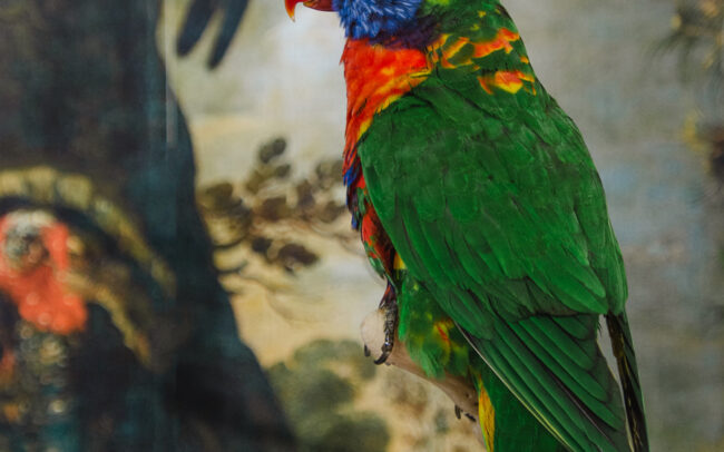 taxidermy rainbow lorikeet