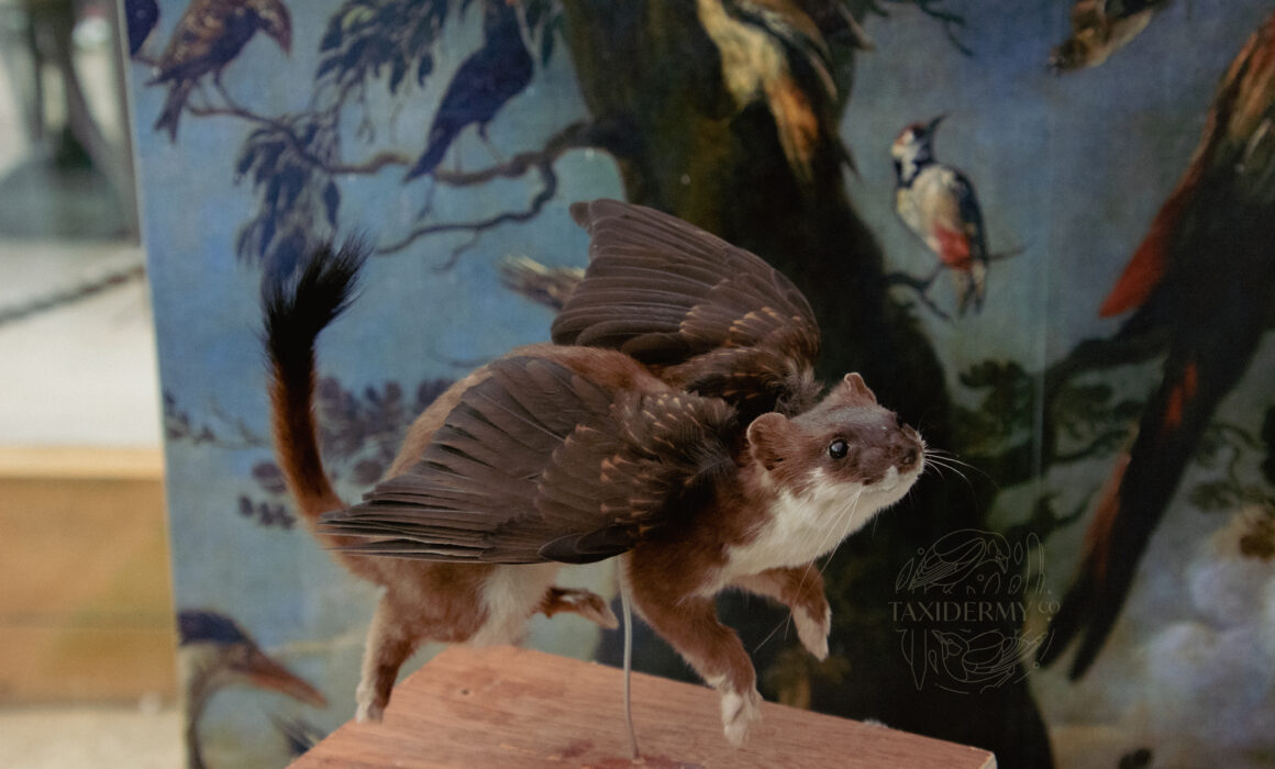 Fantasy Taxidermy Stoat With Wings